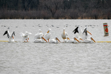 Pelican Pirch