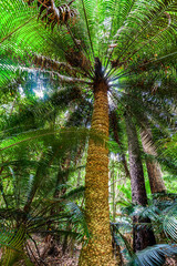 Looking up at tall tree fern in a rainforest