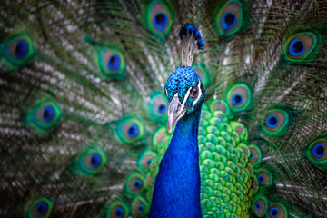 Closeup portrait of a peacock with fanned tail in the background