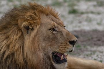 The Savuti North Pride lions roam in the Chobe National Park Botswana.