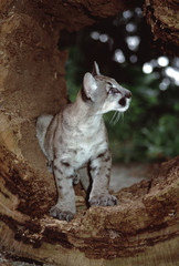 Eastern Cougar cub (Puma Concolor Couguar). This photograph was taken in 1986, prior to when they were officially declared extinct in 2018.