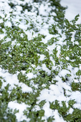 Evergreen shrub in winter is covered in snow in cold weather