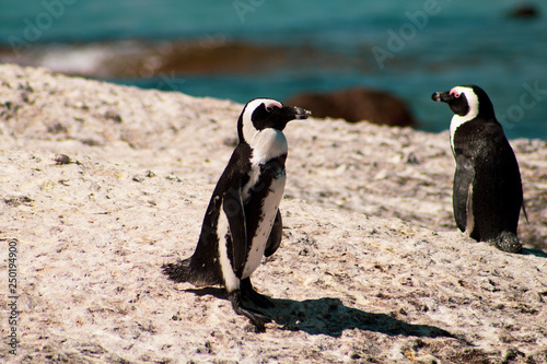 d1662b1d4a9 Cuteness overload  funny african penguins living free in south african beach  (Boulder Beach Penguin