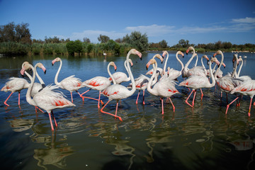 In de dag Flamingo Pink flamingoes in the National Park of Camargue, Provence, France. Holidays in France.
