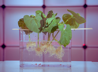 Growing plants by hydroponics in water with chemicals