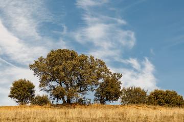 Pradera seca, encinas y cielo azul con nubes. Quercus ilex.