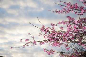 Cherry blossoms is blooming in spring