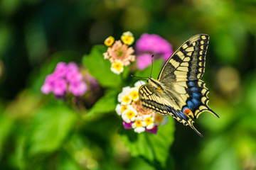 Swallowtail butterfly on a flower with green background