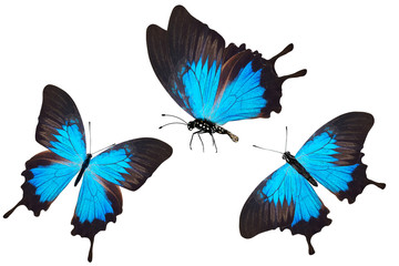 three butterfly blue. isolated on white background