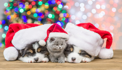 Australian shepherd puppies and baby kitten in red santa hats sleep together with Christmas tree on background