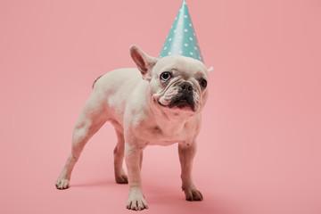 Tuinposter Franse bulldog white french bulldog in blue birthday cap on pink background