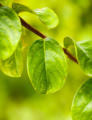 Green leaves on a citrus tree