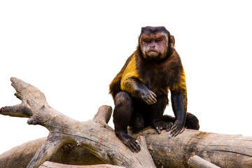 Brown capuchin on a branch, isolated on white background