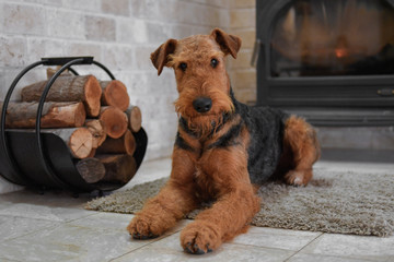 Airedale Terrier dog (1.1 year old), in the interior of the house (by the fireplace and woodpile) Wall mural