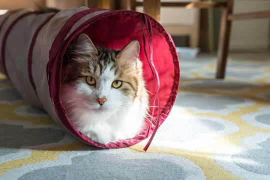 Cute playful cat hiding in a toy tunnel. Siberian Forest Cat laying in a round, red tube.