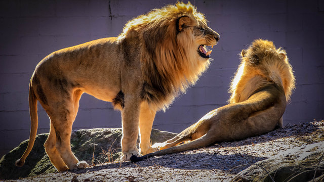A male African lion stands next to to another lion in a zoo.