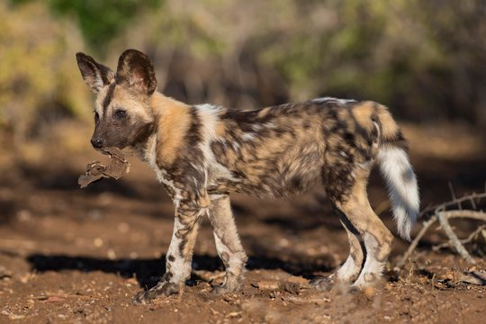 African wild dog (Lycaon pictus), puppy with bark in its mouth, Zimanga Game Reserve, Kwa Zulu Natal, South Africa, Africa