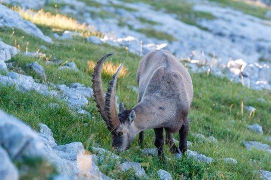 Ibex (Capra ibex), National Park Berchtesgaden, Berchtesgaden, Bavaria, Germany, Europe