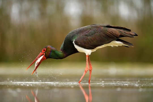 Black stork (Ciconia nigra), with prey, fish in beak, Kiskunsag National Park, Hungary, Europe