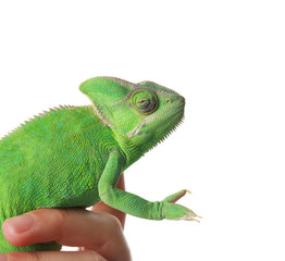 Woman holding cute green chameleon on white background