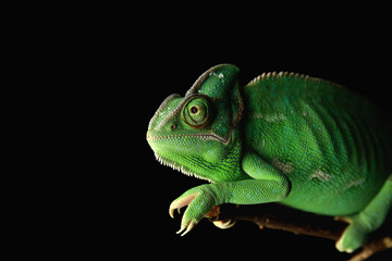 Cute green chameleon on branch against dark background