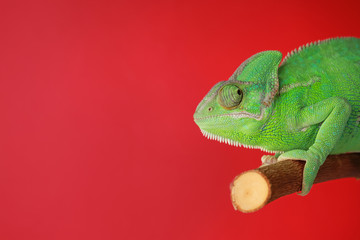 Photo sur Aluminium Cameleon Cute green chameleon on branch against color background