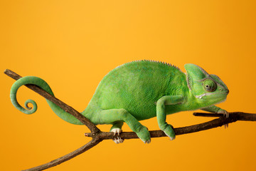 Poster Kameleon Cute green chameleon on branch against color background