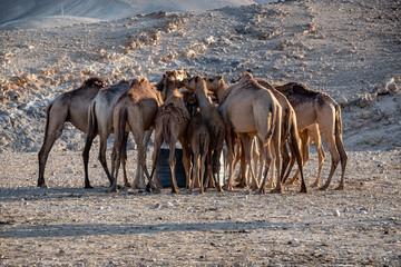 Bedouin's camels at the Negev desert