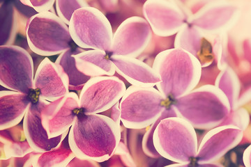 Purple lilac flowers close-up background
