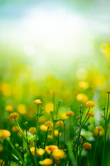 Garden Poster Culture Yellow spring flowers on green meadow background