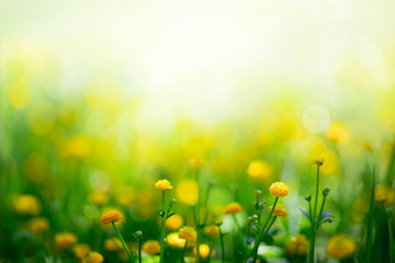 Wall Mural - Yellow spring flowers on green meadow background