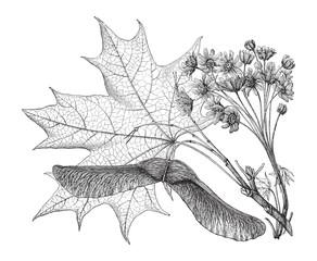Fototapeta Norway Maple (Acer platanoides) / vintage illustration from Meyers Konversations-Lexikon 1897 obraz