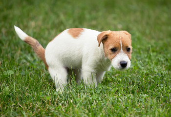 Cute jack russell pet dog puppy doing his toilet, pooping in the grass
