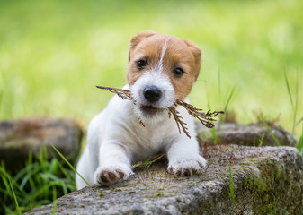 Naughty cute jack russell pet dog puppy playing with a plant
