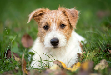Cute happy pet dog puppy lying in the grass