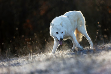The Hudson Bay wolf (Canis lupus hudsonicus) subspecies of the wolf (Canis lupus) also known as the grey/gray wolf. Young female in a frosty morning.