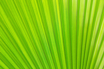 texture of green exotic palm leaves, background image