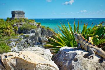 Iguana in the sun admiring the beautiful view of Tulum. In the background, Mayan ruins, and Caribbean coast.