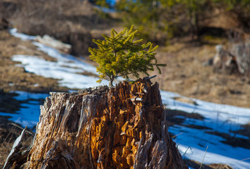 small pine tree grown on old stump