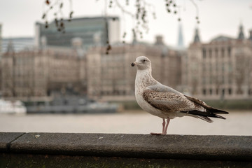 seagull on a wall in london