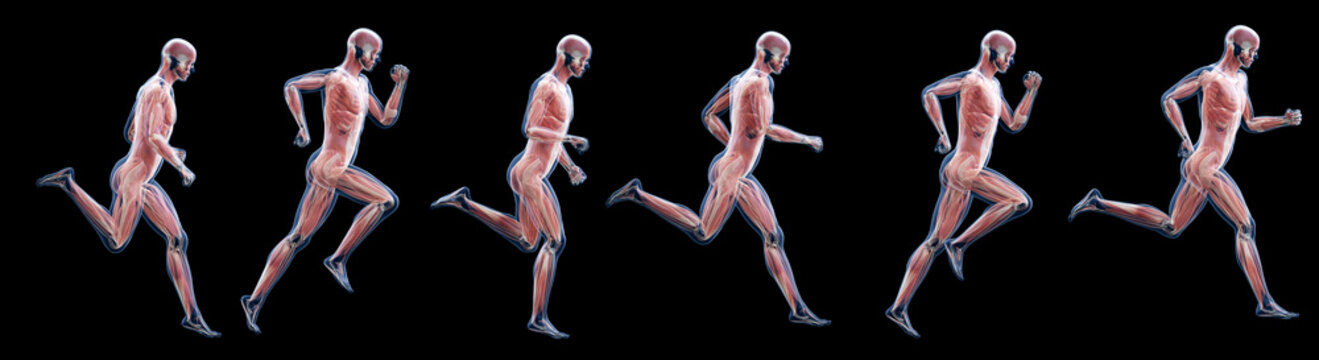 3d rendered illustration of a running mans muscles