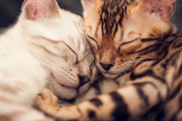 Sleeping Bengal Kittens