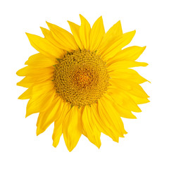 Yellow Sunflower Flower Head  Isolated On White  Background