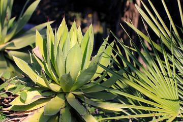 Agave Hybride, Agava hybrid (Cactus, succulent, plante grasse)