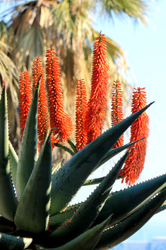 Aloe arborescens (Cactus, Plantes Grasses, Succulentes)