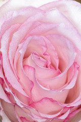 Macro of Pink Rose with Dew