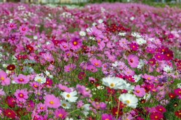 full blooming of cosmos in Japan