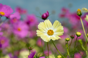 close-up of cosmos in full blooming in Japan