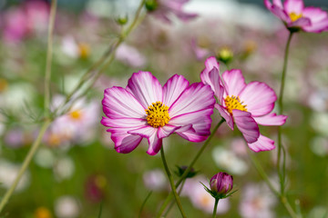 close-up of pink cosmos in full blooming