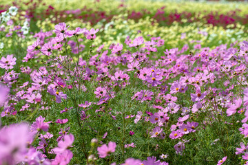 full blooming of cosmos in Japan